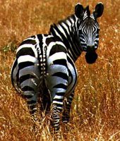 cropped-zebra-cute-animal-pictures2.jpg